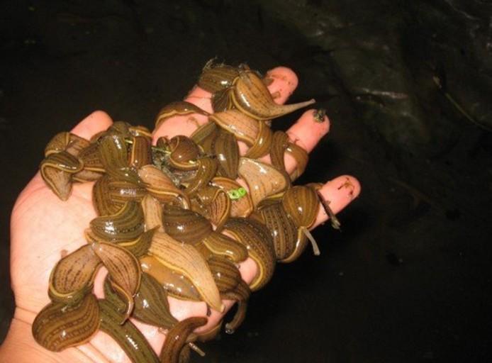 水蛭加工采收