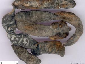水蛭干品 (4)