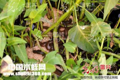 江苏赣榆水蛭养殖基地
