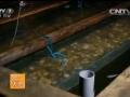 利用em菌饲养海湾扇贝效果 (80播放)