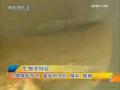 月鳢人工养殖技术 (180播放)