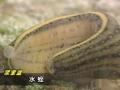 淡水水蛭人工养殖技术水蛭养殖技术视频 (352播放)