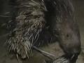 豪猪养殖技术视频(豪猪养殖周期) (94播放)