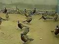 七彩山鸡,山鸡养殖,养殖技术 野鸡养殖 (99播放)