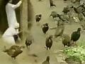 山鸡养殖技术 (61播放)