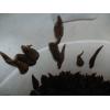 水蛭幼小的苗