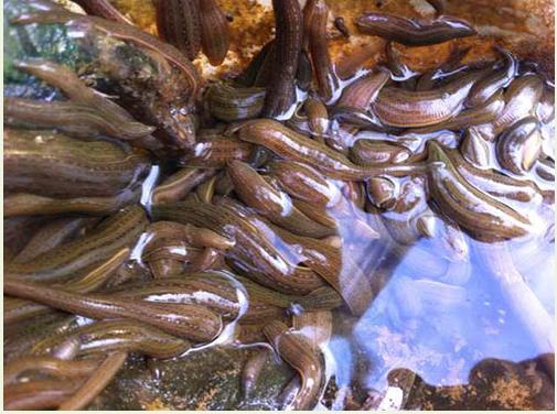 水蛭种苗1