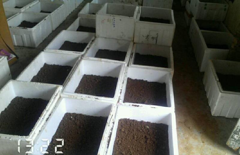 水蛭卵茧温室孵化