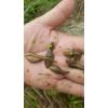 水蛭满月苗