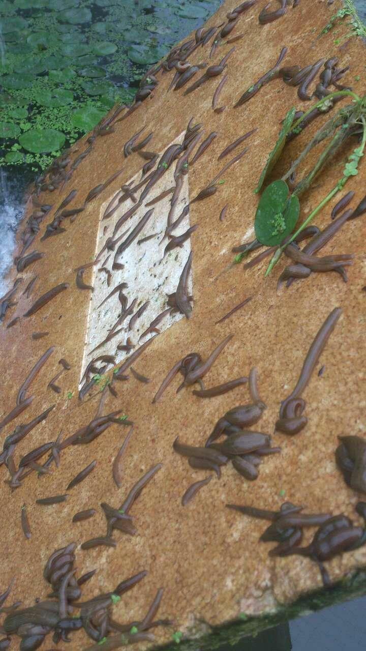 水蛭满月苗8