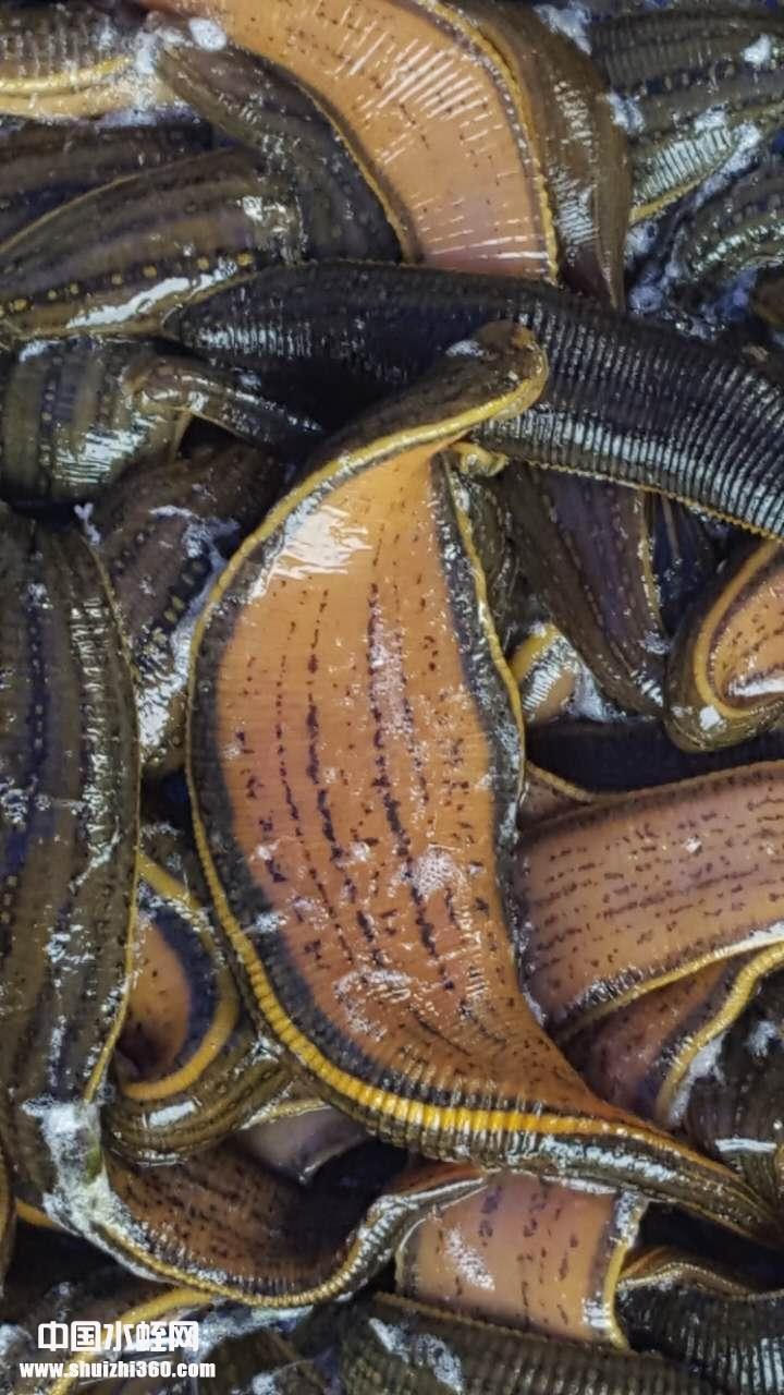 水蛭种苗3