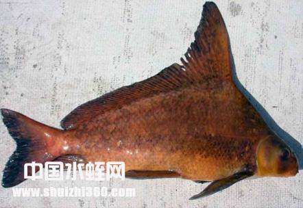 胭脂鱼养殖
