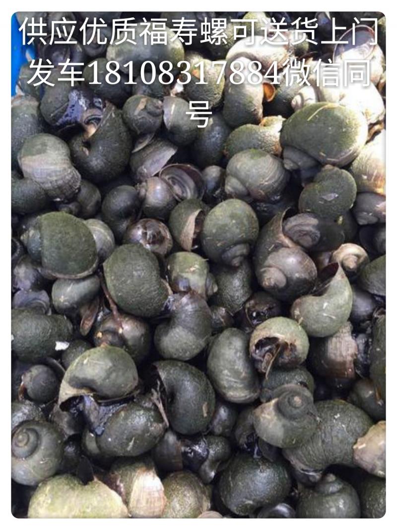福寿螺种螺产卵螺
