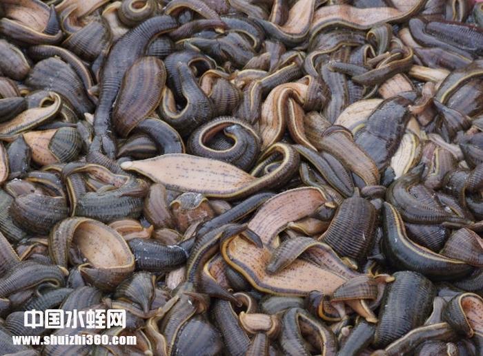 供应2019年水蛭优质种苗