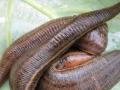 简述江苏水蛭(蚂蝗)生活习性和养殖方法