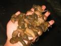 水蛭(蚂蝗)满月苗培训班告诉你水蛭人工养殖高产养殖技术