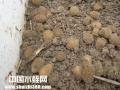 水蛭养殖的卵茧是如何孵化与采集的