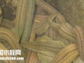 水蛭(蚂蝗)养殖技术之不同种类水蛭的日常管理技术
