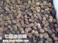 水蛭(蚂蝗)养殖技术之水蛭卵茧的孵化技术