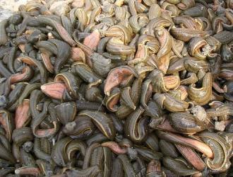 水蛭养殖|引起种蛭死亡的因素有哪些?